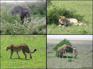 Wanyama – Masai Mara, Africa